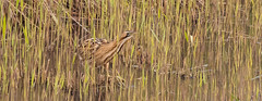 Bittern 2-7477 (WendyCoops224) Tags: canon reeds eos suffolk minsmere bittern camouflaged rspb 70d 100400mml bitternhide