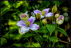 Happy mothers day to all mothers around the world. (scorpion (13)) Tags: sun flower colour nature garden spring clematis frame buds photoart blossem motherday