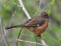 "Eastern Towhee...""Brown Amorata"" ...A Natural History of American Birds 1925 (Bonnie Ott) Tags: easterntowhee pipiloerythrophthalmus eastern towhee bird maryland bonniecoatesott"