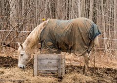 Mucking Around (Korona Lacasse) Tags: horses horse canada cold weather animal animals barn spring nikon novascotia mud farm country pony ponies curious stable equestrian equine barnyard feedingtime equus mire nikond800 canadianweather koronalacasse koronalacassephotography korona4reel