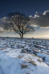 The Malham Ash 1 (Andrew Whitham Photography) Tags: tree landscape nikon yorkshire limestone malham manfrotto d800