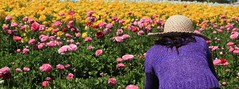 Carlsbad Flower Fields (Jodi Newell) Tags: california ca pink flowers white flower field hat yellow lady canon landscape flora purple ranunculus calif fields newell jodi