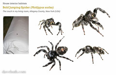 Bold Jumping Spider (Phidippus audax) - inside on my couch (DaveHuth) Tags: combo myn