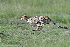 Quick and Deadly! (Duncan Blackburn) Tags: nature mammal nikon kenya wildlife ngc cheetah masaimara coth5