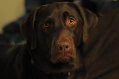 Alpha Dog (Lake Effect) Tags: dog flickr labrador chocolate retriever labradorretriever alpha kona msh0115 msh01153