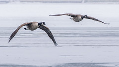 Canada geese, Holly Pond (JEO126) Tags: park canada island geese pond nikon cove flight holly stamford tamron 70300 d5300