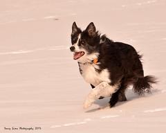 Dog On the Run (djsime) Tags: winter dog snow minnesota running bordercollie february dg southernminnesota