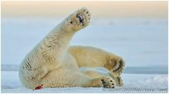 Happy polar bear (read desc) (maselko69) Tags: bear people macro animals giant blood tiny gore crush