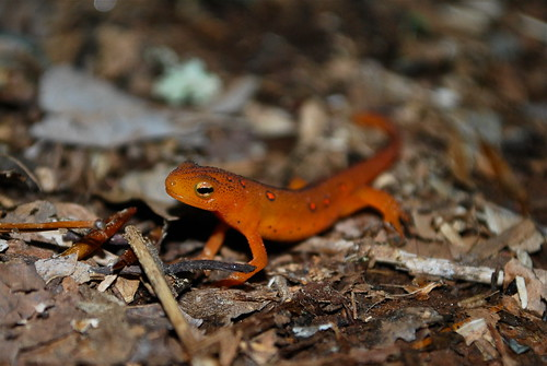 red eft, From FlickrPhotos