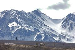 Caribou_4H4A7910 (bud_marschner) Tags: alaska caribou denalinationalpark