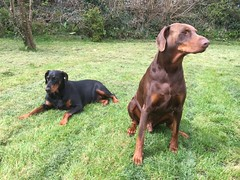 Dobermanns Gabbana and Zeus in the garden. (firehouse.ie) Tags: red dog brown black male animal female hell tan hound canine german doberman breed pinscher k9 dobermann dobermans pinschers dobermanns