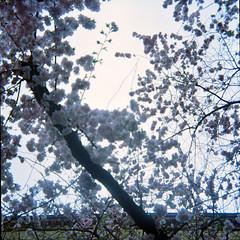 cherry blossoms in Itzehoe (Juliet Alpha November) Tags: color analog spring lomo lomography jan blossoms negative 400 sakura cherryblossoms medium format analogue holstein frhling itzehoe blten schleswig kirschblten mittelformat steinburg zierkirsche meifert