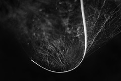 Catching Light (belleshaw) Tags: blackandwhite abstract detail nature stem bokeh silk curve caught spiderwebs strands ucrbotanicgarden