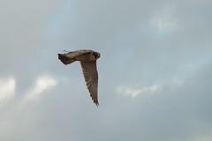 IMG_4233 (gipukan (rob gipman)) Tags: male tower female eos toren 7d kuikens slechtvalk olv langejan preybird canon24105lis tokina116