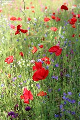 Poppies & country flowers (KikoPhotos) Tags: city flowers red nature colors field canon spring amazing country pic poppy campo shooting fiori sunnyday coquelicot sunnyafternoon amapola papavero innerbeauty almostsummer kikophotos