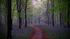A Bluebell Pathway (Colin Winch) Tags: uk flowers blue trees england mist colour green bluebells forest woodland landscape kent woods path pathway kingswood