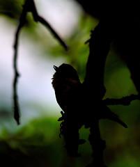 Guildford evening chorus (tomlebert@gmail.com) Tags: uk bird nature spring song surrey guildford birdlife nuthatcher