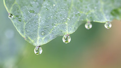 Tears (Fabien Husslein) Tags: nature water leaf drops spring rape printemps rosee feuille rapeseed colza