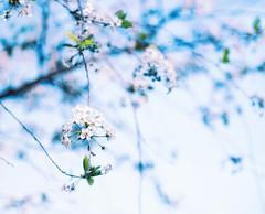 Something in the air (Varvara_R) Tags: blue white flower fleur cherry blossom bokeh coth vsco