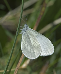 Wood White (mishko2007) Tags: ireland burren 105mmf28