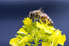 Honeybee over the Rapeseed (Johnnie Shene Photography(Thanks, 2Million+ Views)) Tags: wild people flower colour macro nature floral animal horizontal closeup canon bug insect lens photography eos rebel living wings flora focus kiss view natural image outdoor no wildlife side tranquility 11 full bee theme 23 resting limbs magnified flapping length tamron 90mm viewpoint honeybee f28 tranquil adjustment freshness foreground t3i x5 rapeseed oilseed organism hymenoptera 유채꽃 perching fragility 곤충 접사 hymenopteran 600d 벌 꿀벌 매크로