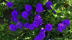 blueflower2 (jurinkof) Tags: fleurs blten blauen  kvety bleues kvty modr