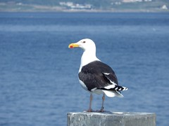 Great black-backed gull (puffin11uk) Tags: tarbert puffin11uk 50club