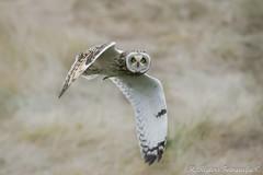 Velduil - Short-eared Owl - Asio flammeus (H.Rigters) Tags: bird natuur owl vogel zevenhuizen asio uil shortearedowl asioflammeus flammeus nikkor300mmf4 nikond600 velduil vliegbeeld