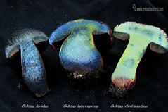 Comparativa-Boletus-con-retculo- (Lucas Gutirrez) Tags: corte funghi hongos alhama boletusluridus boletusluteocupreus granadanatural boletusrhodoxhantus comparativaboletus almijaratejeda