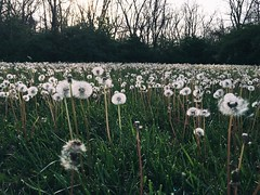 so many wishes. Happy Sunday (life stories photography) Tags: trees ohio nature field square spring woods may squareformat wishes lanscape dandelions iphone 2016 iphoneography instagramapp uploaded:by=instagram