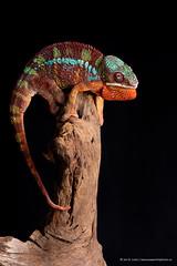 Magoo (Jen St. Louis) Tags: ontario canada male london studio reptile lizard lowkey chameleon pawprints petportrait petphotography pantherchameleon nikon105mmf28 ambilobe nikond750 wwwpawprintsphotosca