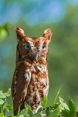 _MG_0011 (918monty) Tags: bird raptor screechowl featheredfriends wildliferehabilitation redphasescreechowl blacklandprairieraptorcenter lucastx imprintedraptors