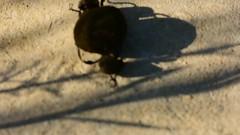 Sisyphos - Play of shadows for two scarabs - rnyjtk kt szkarabeuszra (Gabor_Id) Tags: movie sungod myth r sisyphos scarabaeidae cosmogony mytology scarabeus heper sisyphusschaefferi mythofsisyphos sisyphosking