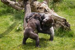 2016-06-16-12h35m33.BL7R9911 (A.J. Haverkamp) Tags: canonef100400mmf4556lisiiusmlens rotterdam zoo dierentuin blijdorp diergaardeblijdorp httpwwwdiergaardeblijdorpnl gorilla westelijkelaaglandgorilla nasibu dob01042007 pobfrankfurtgermany bokito dob14031996 pobberlingermany