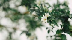 Orange Jasmine (Bartholomew K Poonsiri) Tags: white plant flower tree green nature leaves vintage outdoor jasmine shrub naturalworld jessamine sonyilce6000