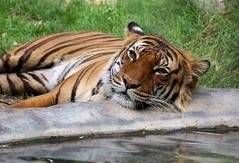 Resting Poolside (greekgal.esm) Tags: california animal cat mammal feline tiger bigcat fresno carnivore chaffee roedingpark malayantiger fresnochaffeezoo gahara