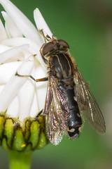Hoverfly- Anasimyia contracta (linanjohn) Tags: uk macro nature wildlife insects lincolnshire syrphidae diptera hoverflies eristalinae anasimyiacontracta snakeholmepit