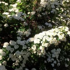 I colori della primavera (Luciana.Luciana) Tags: flowers primavera spring colours fiori colori bianco printemps frhling