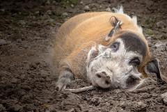 Pig in Muck (SKAC32) Tags: pig mud muck boar northdevon brattonfleming exmoorzoo riverhog swengland happyasapiginmuck