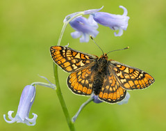 Marsh Fritillary Euphydryas aurinia (Iain Leach) Tags: macro nature beautiful beauty closeup canon butterfly insect outdoors photography image wildlife moth conservation lepidoptera photograph invertebrate macrophotography birdphotography beautyinnature wildlifephotography marshfritillary canoncameras euphydryasaurinia canon5dmk3 canon1dx wwwiainleachphotographycom iainhleach