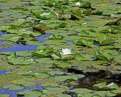 Tenney Walk 06.04.16 010 (kg.hill50) Tags: park lake nature wisconsin historic madison recreation mendota danecounty yahara