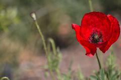 _MG_1852 (Carmen T. Chaguaceda) Tags: naturaleza verde primavera rojo desenfoque amapolas floressilvestres