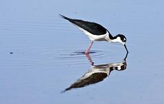 Black-necked Stilt (Himantopus mexicanus); Belen Wetlands, NM [Lou Feltz] (deserttoad) Tags: newmexico reflection bird nature water pond wildlife wetlands behavior stilt shorebird wildbird
