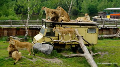 Lions   Explore:278 (ditmaliepaard) Tags: sony lions safaripark beeksebergen leeuwen hilvarenbeek a6000