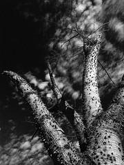 Dry (Rodrigo Neves) Tags: sky bw tree nature clouds branches natureza dry sharp arvore spikes blackandwihte
