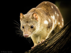 "tiger quoll • <a style=""font-size:0.8em;"" href=""http://www.flickr.com/photos/44919156@N00/27274684533/"" target=""_blank"">View on Flickr</a>"