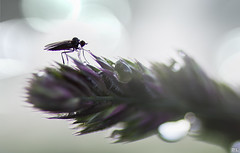 Bug (roland_lehnhardt) Tags: flowers light macro green nature bug insect licht fly waterdrop dof purple bokeh pov violet move ef100mmf28 grn blume makro insekt nahaufnahme fliege wassertropfen violett schrfentiefe tiefenschrfe unschrfe naturemasterclass eos60d