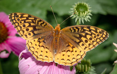 Great Spangled Fritillary (tresed47) Tags: 2015 201507july 20150721springtoninsects butterflies canon7d chestercounty content folder fritilliary fritilliarygreatspangled insects macro pennsylvania peterscamera petersphotos places springtonmanor takenby technical us
