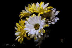 Emerging from the Shadows 0301 Copyrighted (Tjerger) Tags: winter portrait white plant black flower macro nature beautiful beauty yellow closeup blackbackground wisconsin dark petals flora natural daisy bloom emerging