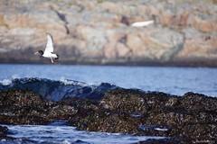DSC01585_Fotor (Jagupov Igor) Tags: sea russia north oystercatcher kola peninsula barents haematopus ostralegus 12062016